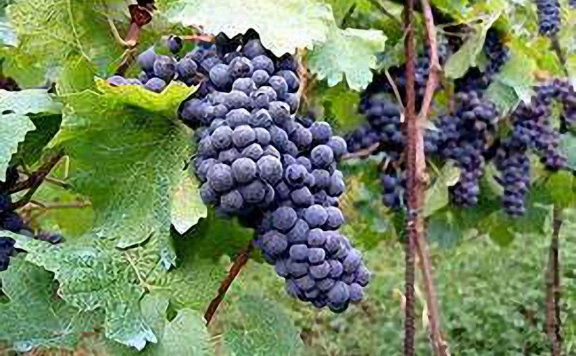 Greffés sur la vigne